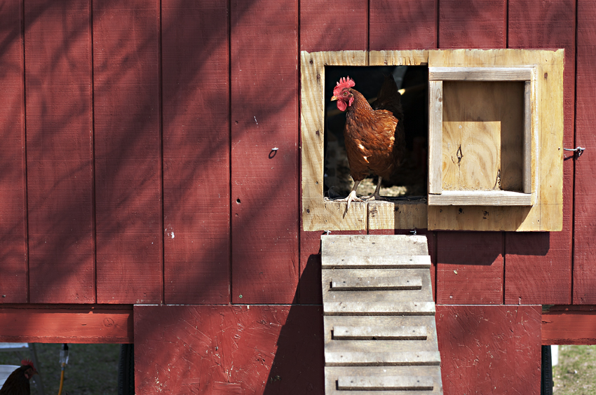 Photograph of a chicken as part of a community-supported art project