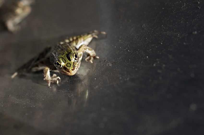 Photograph of northern leopard frog in North Dakota